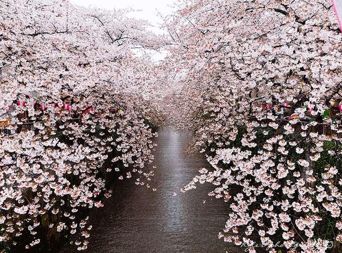 2014-japanese-cherry-blossom-blooming-sakura-1