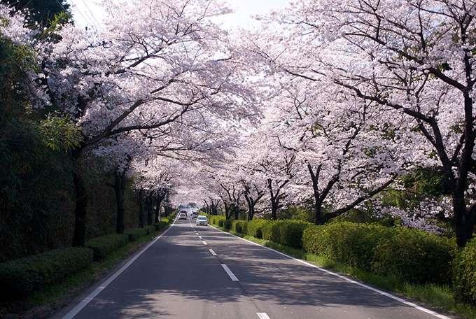 2014-japanese-cherry-blossom-blooming-sakura-10