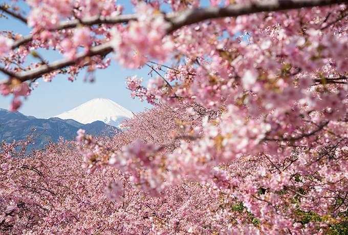 2014-japanese-cherry-blossom-blooming-sakura-16