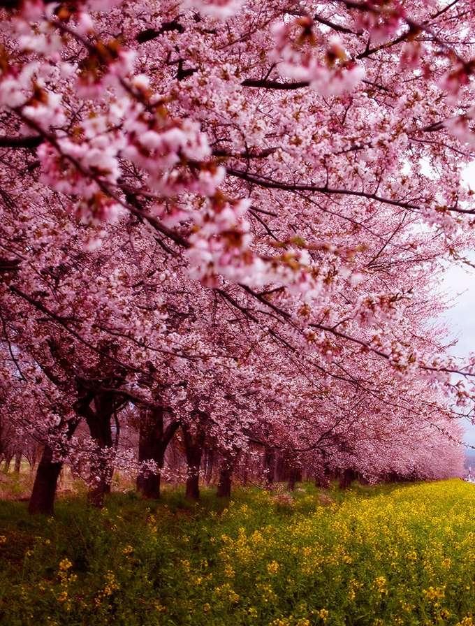 2014-japanese-cherry-blossom-blooming-sakura-18