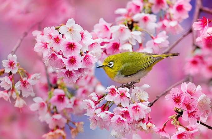 2014-japanese-cherry-blossom-blooming-sakura-23