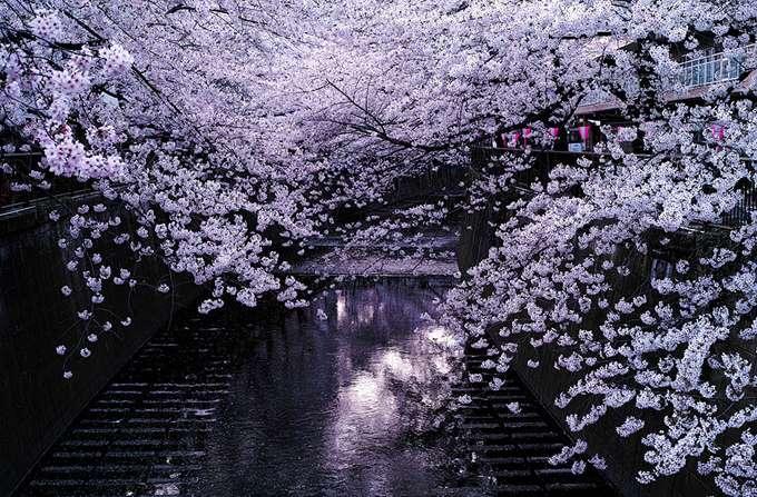 2014-japanese-cherry-blossom-blooming-sakura-28