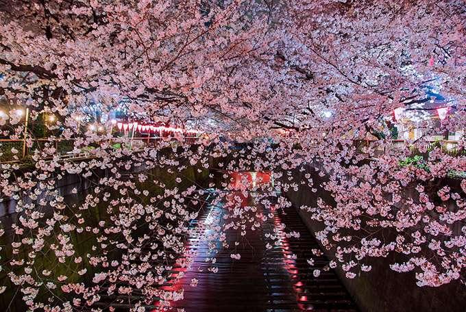2014-japanese-cherry-blossom-blooming-sakura-4