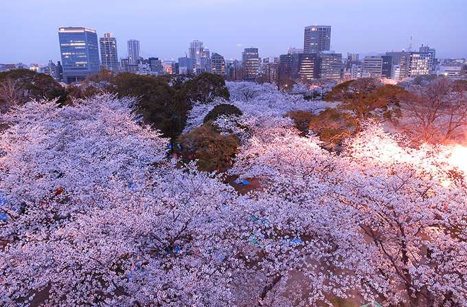 2014-japanese-cherry-blossom-blooming-sakura-9