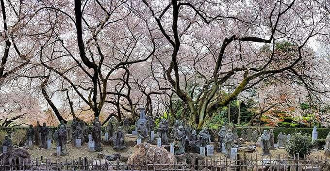 2014-japanese-cherry-blossom-blooming-sakura-19