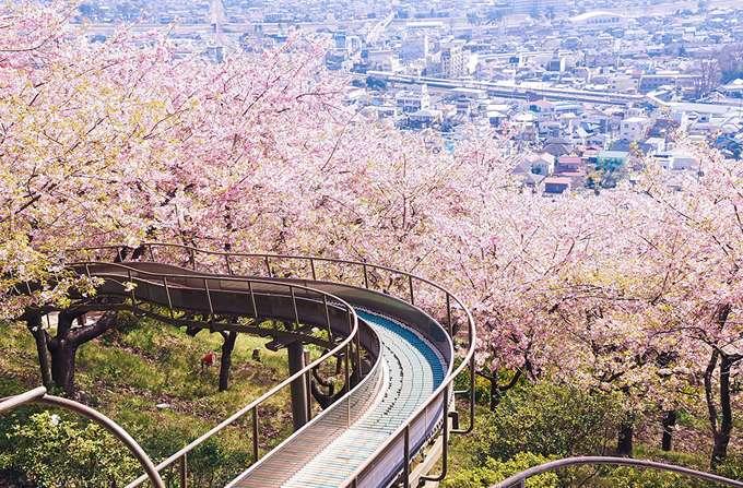 2014-japanese-cherry-blossom-blooming-sakura-2