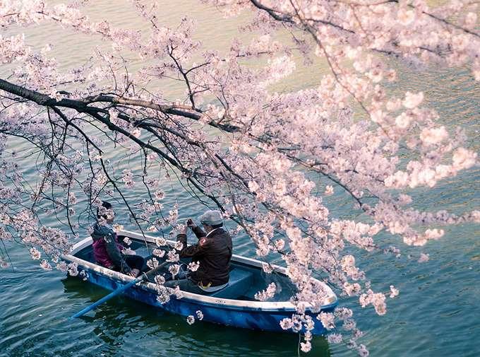 2014-japanese-cherry-blossom-blooming-sakura-20