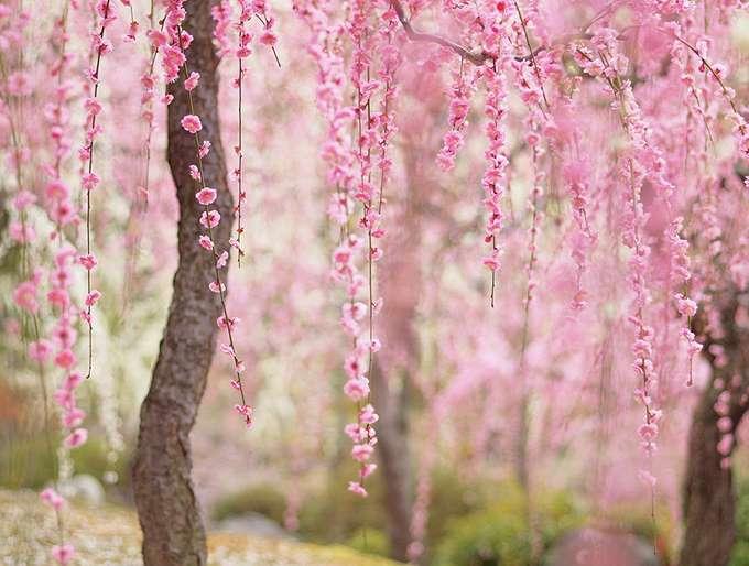2014-japanese-cherry-blossom-blooming-sakura-25