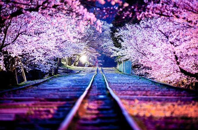 2014-japanese-cherry-blossom-blooming-sakura-26