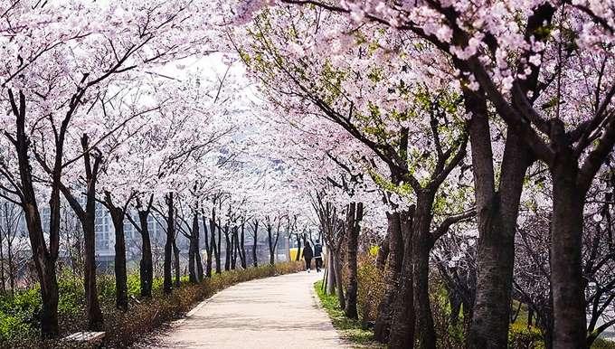 2014-japanese-cherry-blossom-blooming-sakura-8